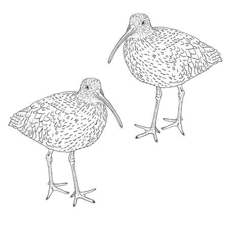 eurasian: Eurasian Curlew, bird. Vector illustration. Illustration