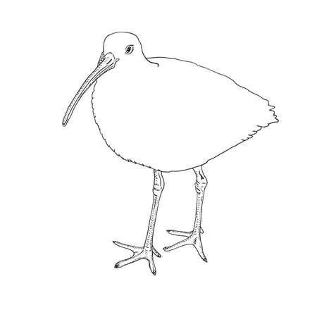 Eurasian Curlew, bird. Vector illustration. Stock Vector - 11500514