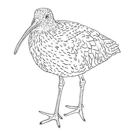ornithology: Eurasian Curlew, bird. Vector illustration. Illustration