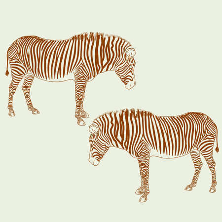 pied: Two zebras. Vector illustration.