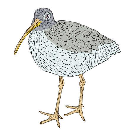 Courlis cendré, oiseau. Vector illustration. Vecteurs