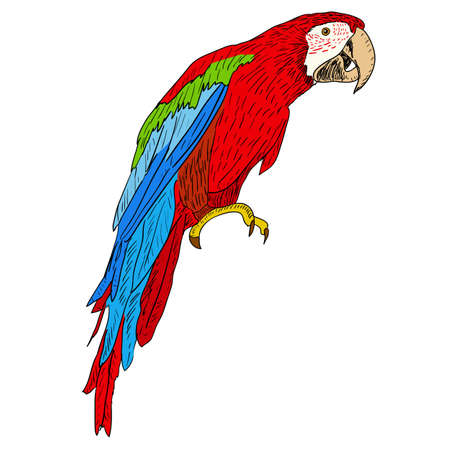 exotic pet: Macaws. Vector illustration. Illustration
