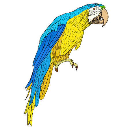 Macaws. Vector illustration.  イラスト・ベクター素材