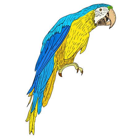 perico: Guacamayos. Ilustraci�n del vector.