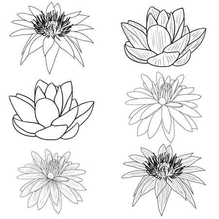 white lotus flower: Oriental lotus - a flower Vector illustration.