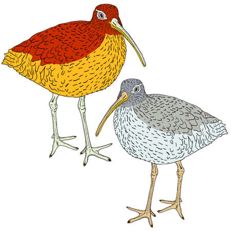 eurasian: Eurasian Curlew, bird illustration.