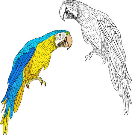 Macaws illustration