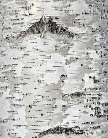 Close up of birch bark surface texture photo