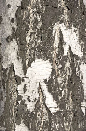 Bark of birch in the cracks texture photo