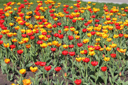 Yellow and red  tulip field  photo
