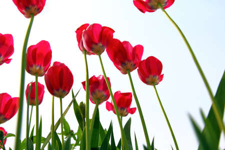 distinctive: Red tulips, view from below against the sky.