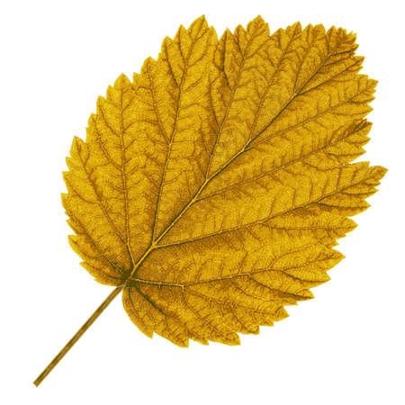 contrasts: Autumn  leaf  on white background. Vector illustration.