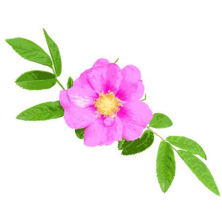 Wild rose isolated on white background. Vector illustration.