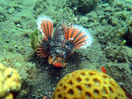 pterois: Lionfish (pterois) on coral reef Bali. Stock Photo
