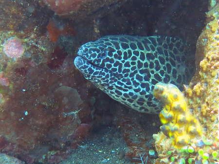 ocean floor: Giant spotted moray hiding  amongst coral reef on the ocean floor, Bali. Stock Photo