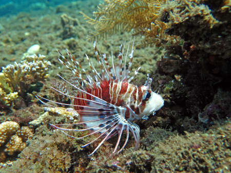 lionfish: Lionfish (pterois) on coral reef Bali. Stock Photo