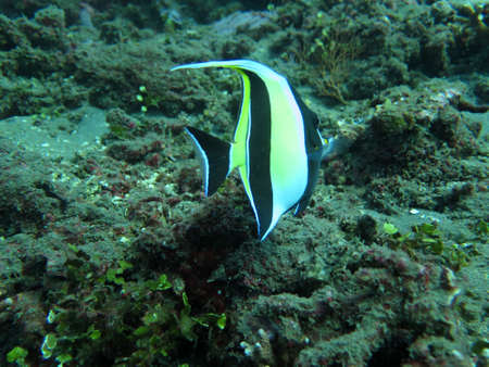 thriving: Thriving  coral reef alive with marine life and  tropical fish (Moorish Idols), Bali.
