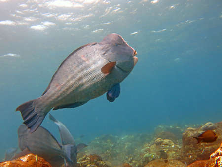 humphead: Fish Humphead Parrotfish, Bolbometopon muricatum in Bali. Stock Photo