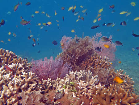 thriving: Thriving  coral reef alive with marine life and shoals of fish, Bali.
