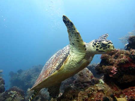 schildkroete: Karettschildkröten Strom auf Korallenriff Insel Bali.
