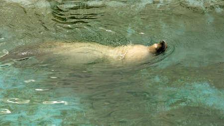sea lion: Large sea lion swimming in the sea