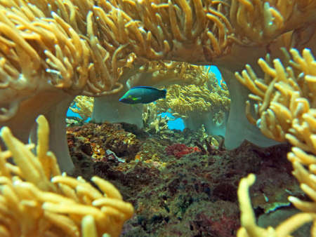 marine life: Thriving  coral reef alive with marine life and shoals of fish, Bali.
