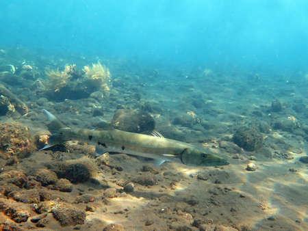 sealive: Great Barracuda fish in ocean Bali