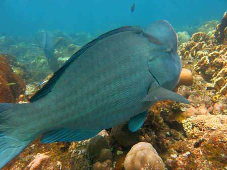 humphead: Fish Humphead Parrotfish, Bolbometopon muricatum in Bali. Stock Photo