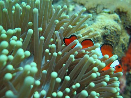 Orange nemo clown fish in the beautiful vivid green anemone. Stock Photo