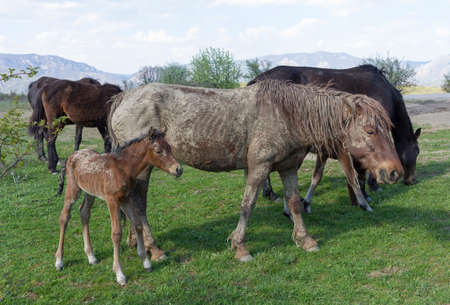 Old dirty horse grazing with a herd in field. Stock Photo