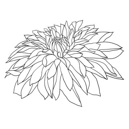 Beautiful monochrome sketch, black and white dahlia flower isolated.