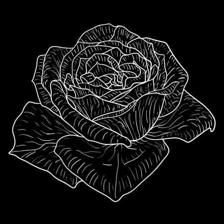 Beautiful monochrome sketch, black and white rose flower isolated.