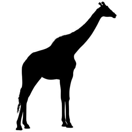Silueta de una jirafa africana alta sobre un fondo blanco.