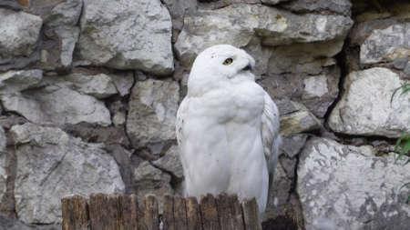 Snowy owl (Bubo scandiacus or Nyctea scandiaca) sitting on a stick.