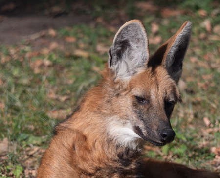 Red maned wolf in the captive animal portrait.