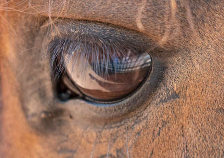 Close up of a big eye with brown horse eyelashes.