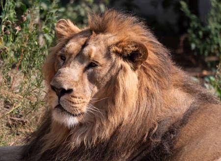 Lion portrait se prélassant au chaud soleil après le dîner.