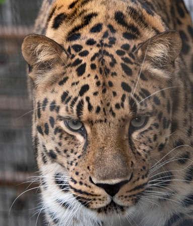 Jaguar przed atakiem na ofiarę przygotowuje się do skoku.