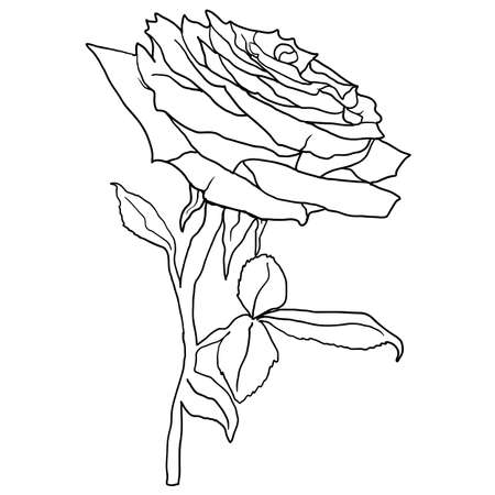 Beautiful sketch of a rose flower on a white background.