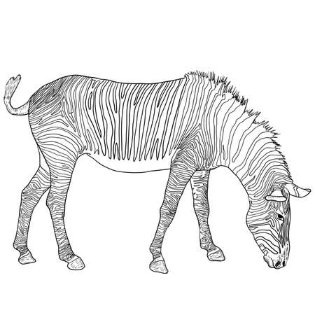 Sketch african zebra on a white background.