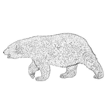 Sketch polar bear on a white background.