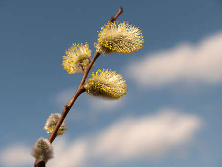 Beautiful branches pussy willow against the blue sky, easter palm sunday holiday. Stok Fotoğraf