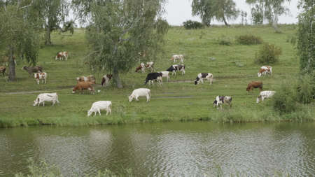 Landscape with a herd of cows in the on coast of the lake. 스톡 콘텐츠
