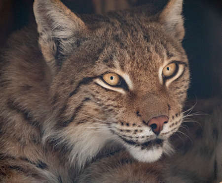 Lynx looks with predatory eyes from the shelter. Foto de archivo