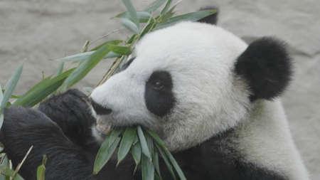 Panda va sobre un fondo de hierba verde.
