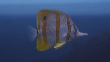Fish, coral reef dweller swims close to the camera. Stockfoto