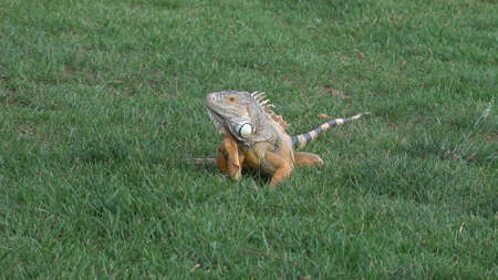 Most beautiful iguana sitting on green grass in the park.