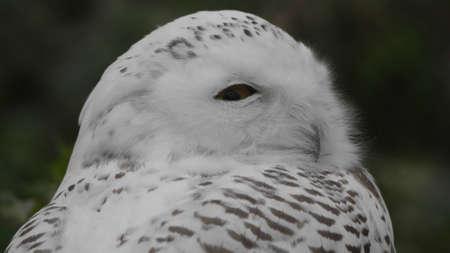 Snowy owl Bubo scandiacus or Nyctea scandiaca sitting on a stick.