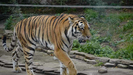 The Amur tiger is the graceful gait of the taiga. Banque d'images