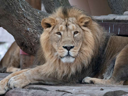 Portrait lion basking in the warm sun after dinner.